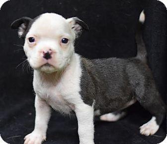 English Bulldog Mix Puppy for adoption in Manhattan, New York - Beatrice