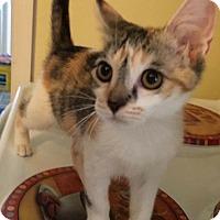 Calico Kitten for adoption in Old Bridge, New Jersey - Nika