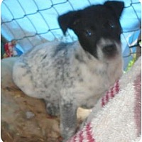 Blue Heeler/Border Collie Mix Puppy for adoption in Katy, Texas - Rascal