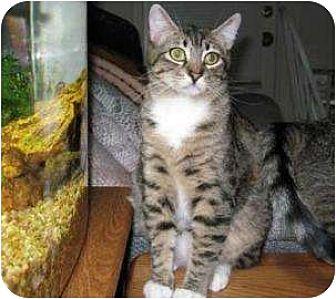 Domestic Shorthair Cat for adoption in Schertz, Texas - Marty