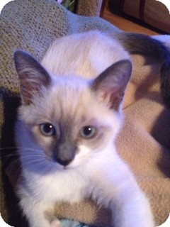 Siamese Kitten for adoption in Vero Beach, Florida - Luna