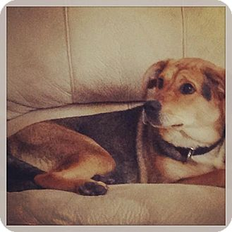 German Shepherd Dog/Beagle Mix Dog for adoption in Laingsburg, Michigan - Belle