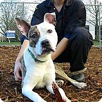 Adopt A Pet :: Benny - Seattle, WA