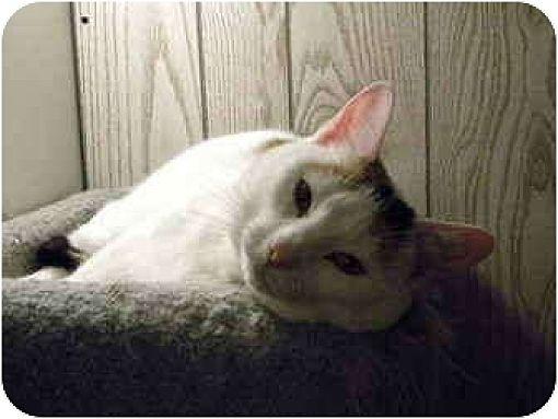 Calico Cat for adoption in Bartlett, Illinois - Lady Di