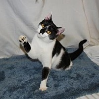 Domestic Shorthair Cat for adoption in Jackson, Mississippi - Beth
