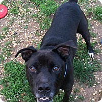American Pit Bull Terrier Mix Dog for adoption in Hockessin, Delaware - McFly
