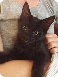 Domestic Mediumhair Kitten for adoption in North Highlands, California - Maddux