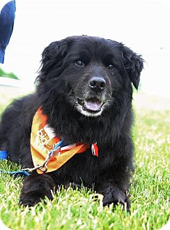 Chow Chow Mix Dog for adoption in Enfield, Connecticut - Milo