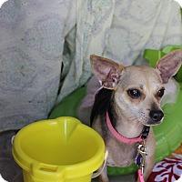 Adopt A Pet :: Apple Jack - San Antonio, TX