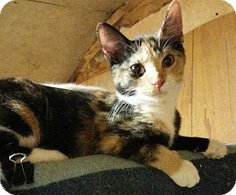 Domestic Shorthair Kitten for adoption in Morganton, North Carolina - Galadriel