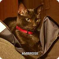 Adopt A Pet :: Ambrose - West Orange, NJ