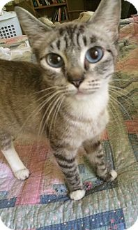 Siamese Cat for adoption in Gainesville, Florida - Maddy