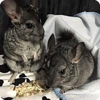 Adopt A Pet :: Bert and Ernie - Alexandria, VA