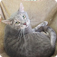 Domestic Shorthair Cat for adoption in Reeds Spring, Missouri - Prince