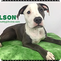 American Pit Bull Terrier/American Staffordshire Terrier Mix Puppy for adoption in Toledo, Ohio - Wilson