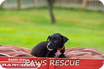 Labrador Retriever Mix Puppy for adoption in Forest Hill, Maryland - Diane