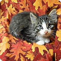 Adopt A Pet :: Boots - Columbus, NE