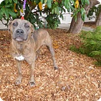 Pit Bull Terrier Dog for adoption in McKinleyville, California - AMBERLYN