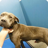Pit Bull Terrier Mix Dog for adoption in Henderson, North Carolina - Jarred