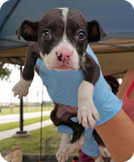 Terrier (Unknown Type, Medium)/Boxer Mix Puppy for adoption in Royal Palm Beach, Florida - Danali