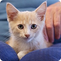 Domestic Shorthair Kitten for adoption in Nashville, Tennessee - Degas