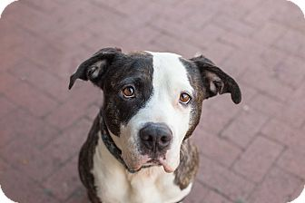 Pit Bull Terrier Mix Dog for adoption in Washington, D.C. - Chuck