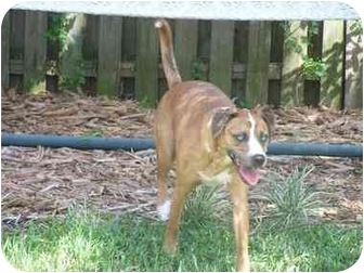 Catahoula Leopard Dog Mix Dog for adoption in Mims, Florida - PAPA