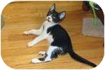 Domestic Shorthair Kitten for adoption in New York, New York - Tux