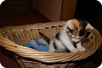 Calico Kitten for adoption in Trevose, Pennsylvania - Lillipop