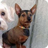 Adopt A Pet :: Charlie - Carmine, TX