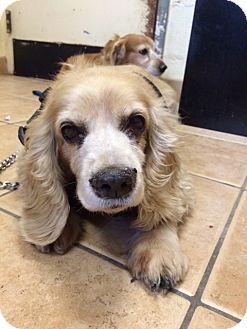 Cocker Spaniel Dog for adoption in Oak Ridge, New Jersey - Rose
