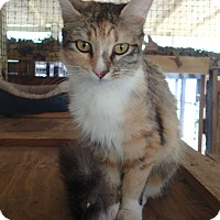Domestic Mediumhair Cat for adoption in Ravenel, South Carolina - Fiona