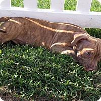 Adopt A Pet :: de Bordeaux Mix Pup - Sparkles - Midlothian, VA