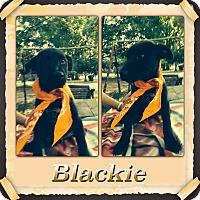 Adopt A Pet :: Blackie meet me 10/9 - East Hartford, CT