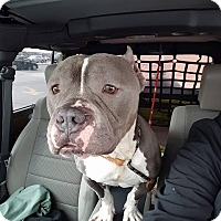 Adopt A Pet :: Meatball - Villa Park, IL