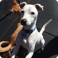 Adopt A Pet :: Petey - Sudbury, MA