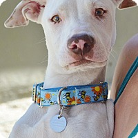 Adopt A Pet :: Lady Gaga - Los Angeles, CA