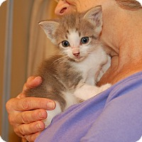 Domestic Shorthair Kitten for adoption in Great Mills, Maryland - Tom