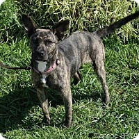 Adopt A Pet :: Shanzi- 30lbs of FUN - Clarkston, MI
