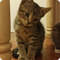 Domestic Shorthair Kitten for adoption in Middlebury, Connecticut - Snickers