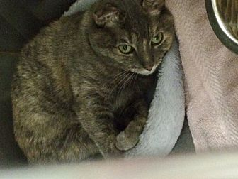 Domestic Shorthair Cat for adoption in Byron Center, Michigan - Gracie