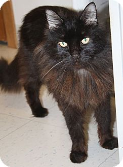 Domestic Longhair Cat for adoption in Washburn, Wisconsin - Raz