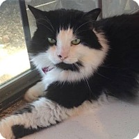 Domestic Longhair Cat for adoption in McKinney, Texas - Bebe