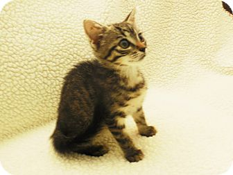 American Shorthair Kitten for adoption in Burgaw, North Carolina - Tuffie