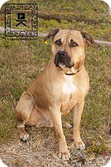 American Pit Bull Terrier Dog for adoption in Fredericksburg, Virginia - Spotsylvania Shelter #16-4207