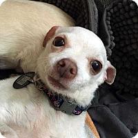 Adopt A Pet :: Sugar! - New York, NY