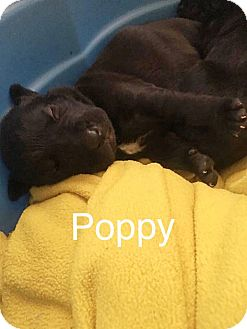 Pit Bull Terrier Mix Puppy for adoption in Durham, North Carolina - Poppy