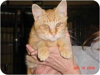 Domestic Shorthair Cat for adoption in Pendleton, Oregon - Diego