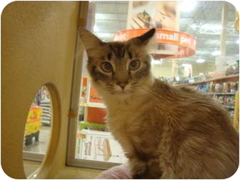 Oriental Cat for adoption in Owasso, Oklahoma - Arial