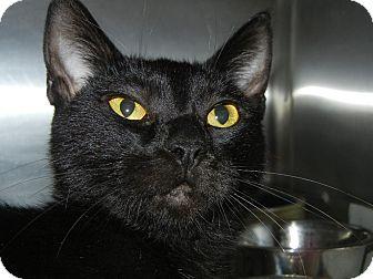 Domestic Shorthair Cat for adoption in Miami, Florida - Madison